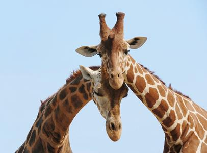 Giraffe in love